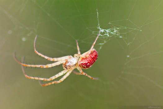 Spider No.4
