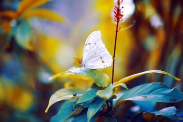 White Morpho by Kendra-Paige