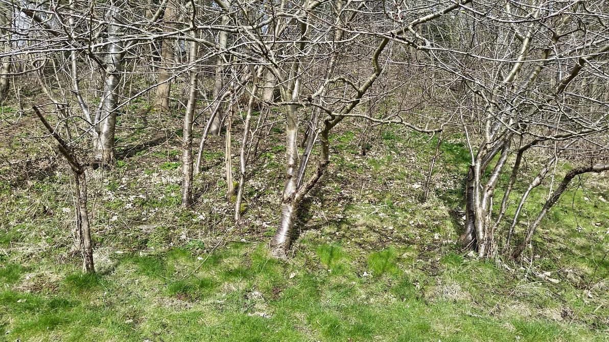 Shiny Birch trees by Rozrr