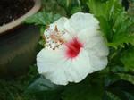 White Dwarf Hibiscus