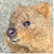 Quokka Icon