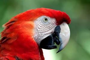 Crimson Macaw 00005 by TomFawls