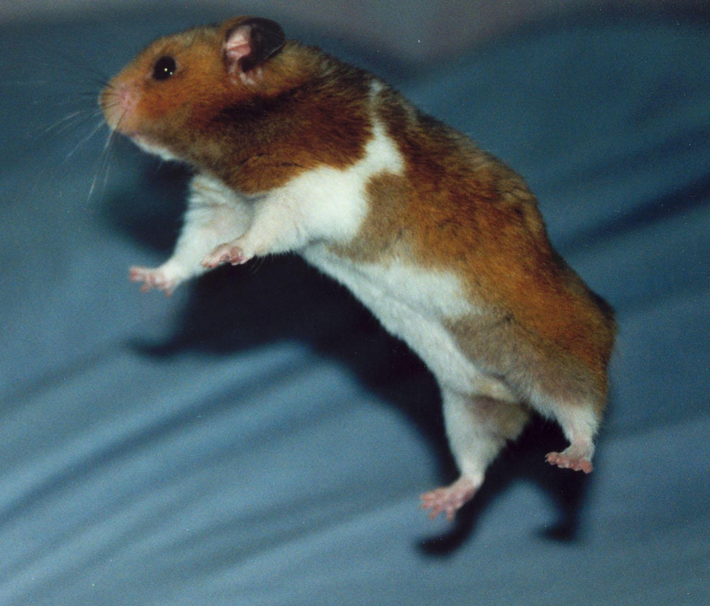flying hamsters