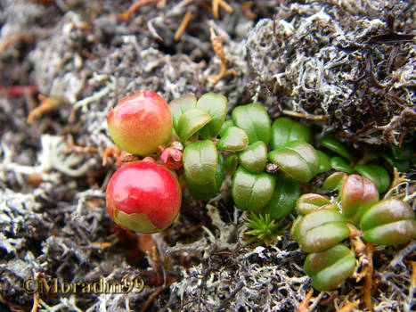 'Giant' northern cranberry