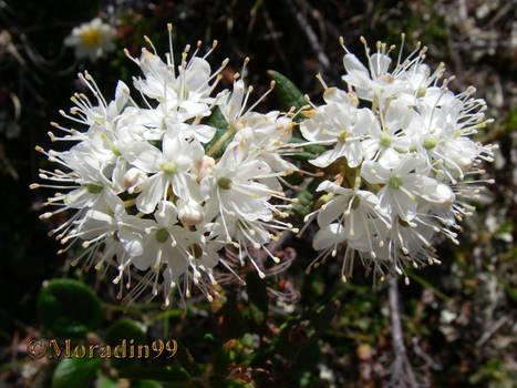 Labrador Tea Flowers 01