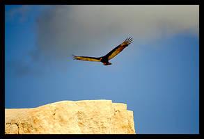 Turkey Vulture by maxholanda
