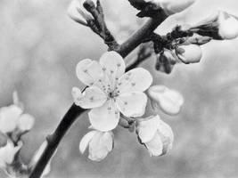 Spring Bloom by Statham75