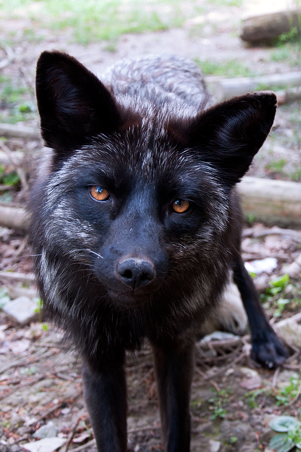 Silver Fox by Skia