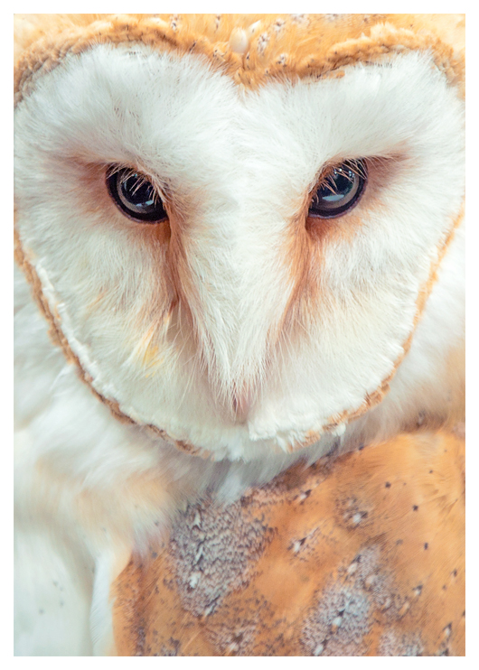 Tyto alba by Skia