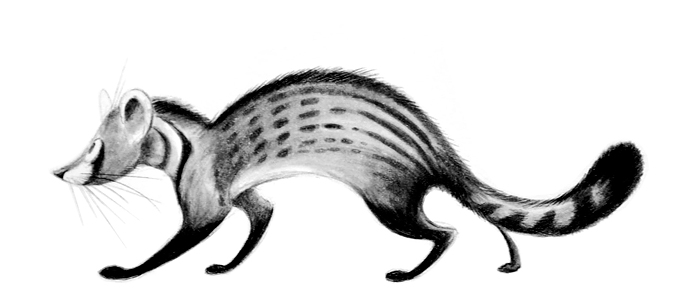 African Civet by Skia