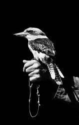 Kookaburra by Skia