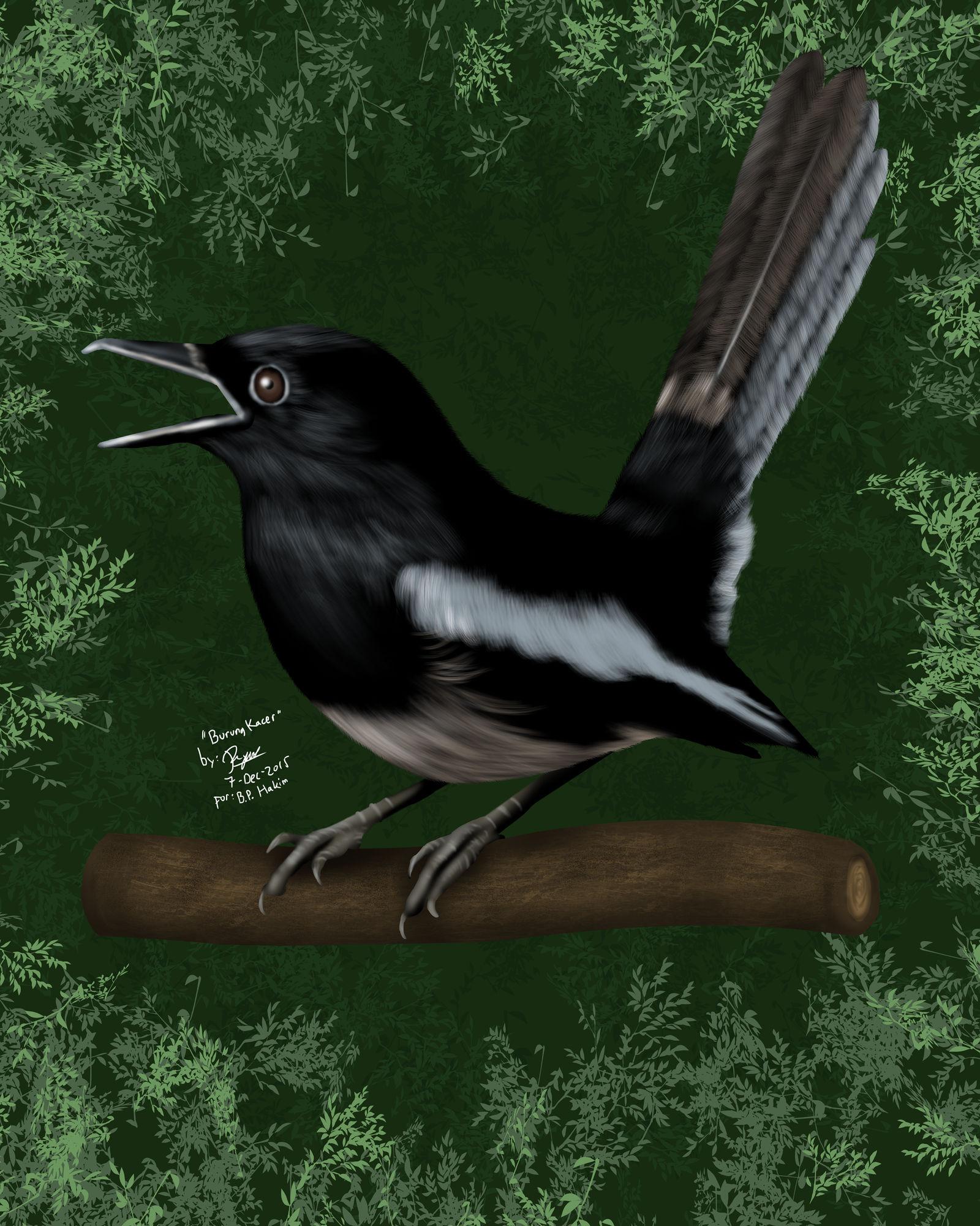 Burung Kacer Commission By Ronggo On Deviantart