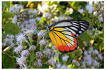 Butterfly 64 (Painted Jezebel)