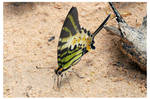 Butterfly 101 (Fivebar Swordtail)
