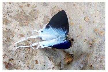 Butterfly 102 (Fluffy Tit) by kiew1