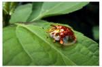 Tortoise bug (2)