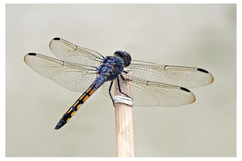 Dragonfly 16 by kiew1