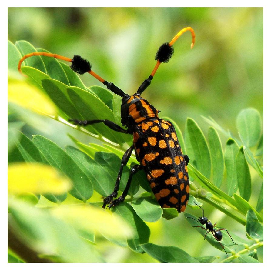 Longhorn beetle by kiew1
