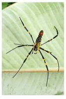 Golden Orb Web Spider by kiew1