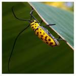 Flat-faced longhorn beetle
