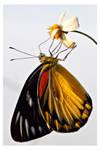 Butterfly 116 (Redspot Jezebel)