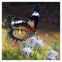 Butterfly 123 (Leopard Lacewing) by kiew1