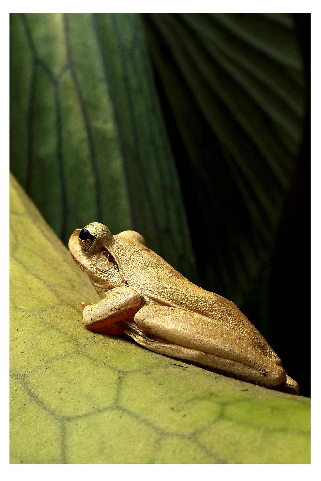 Tree frog by kiew1