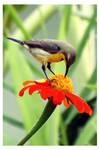 Sunbird and flower 2