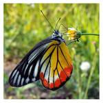 Butterfly 124 (Painted Jezebel)