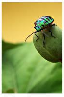 Shield bug (Pentatomidae) by kiew1