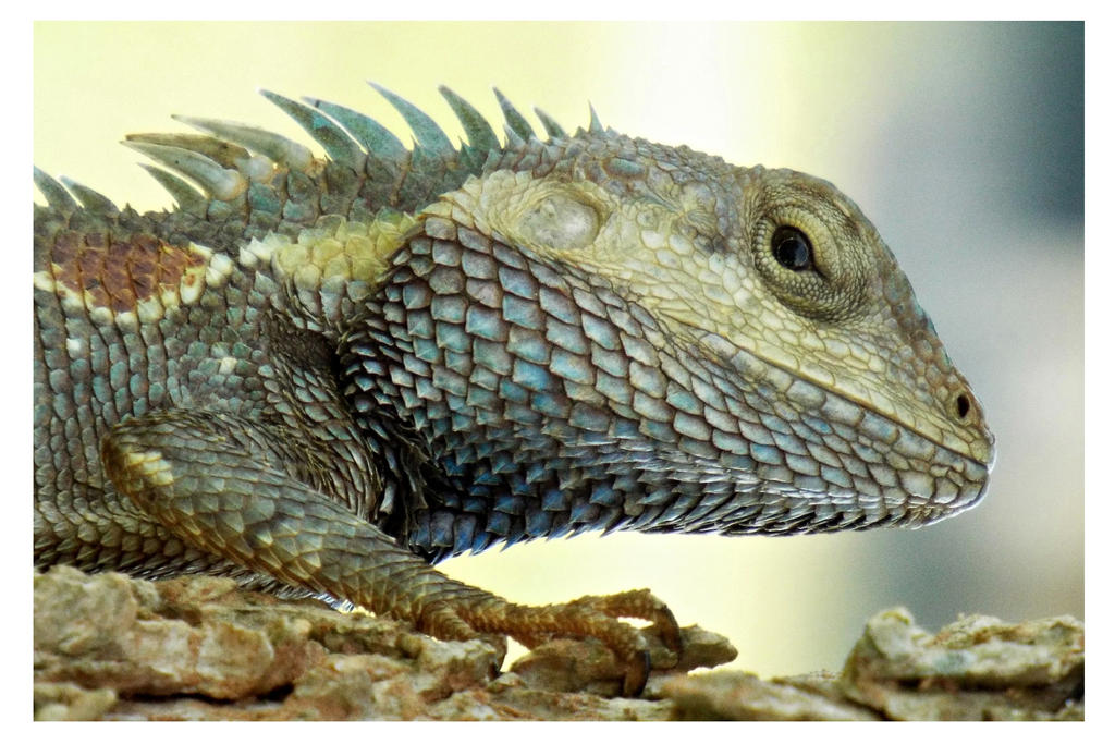 Blue Crested Lizard (2) by kiew1
