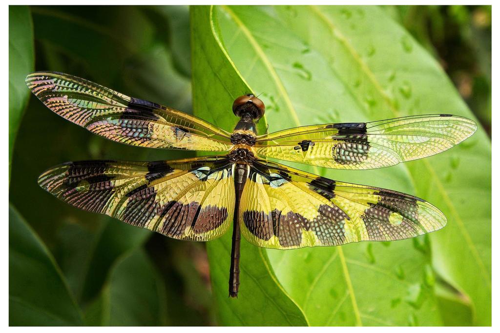 Variegated Flutterer by kiew1