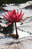 Water lily No. 1 by Amaries-stock
