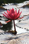 Water lily No. 1