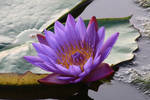 Water lily No. 5a