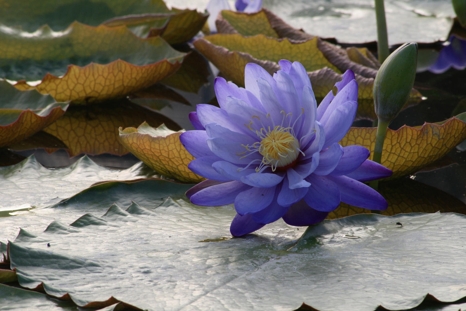 Water lily No. 6