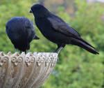 Crow No. 2