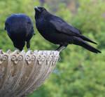 Crow No. 3