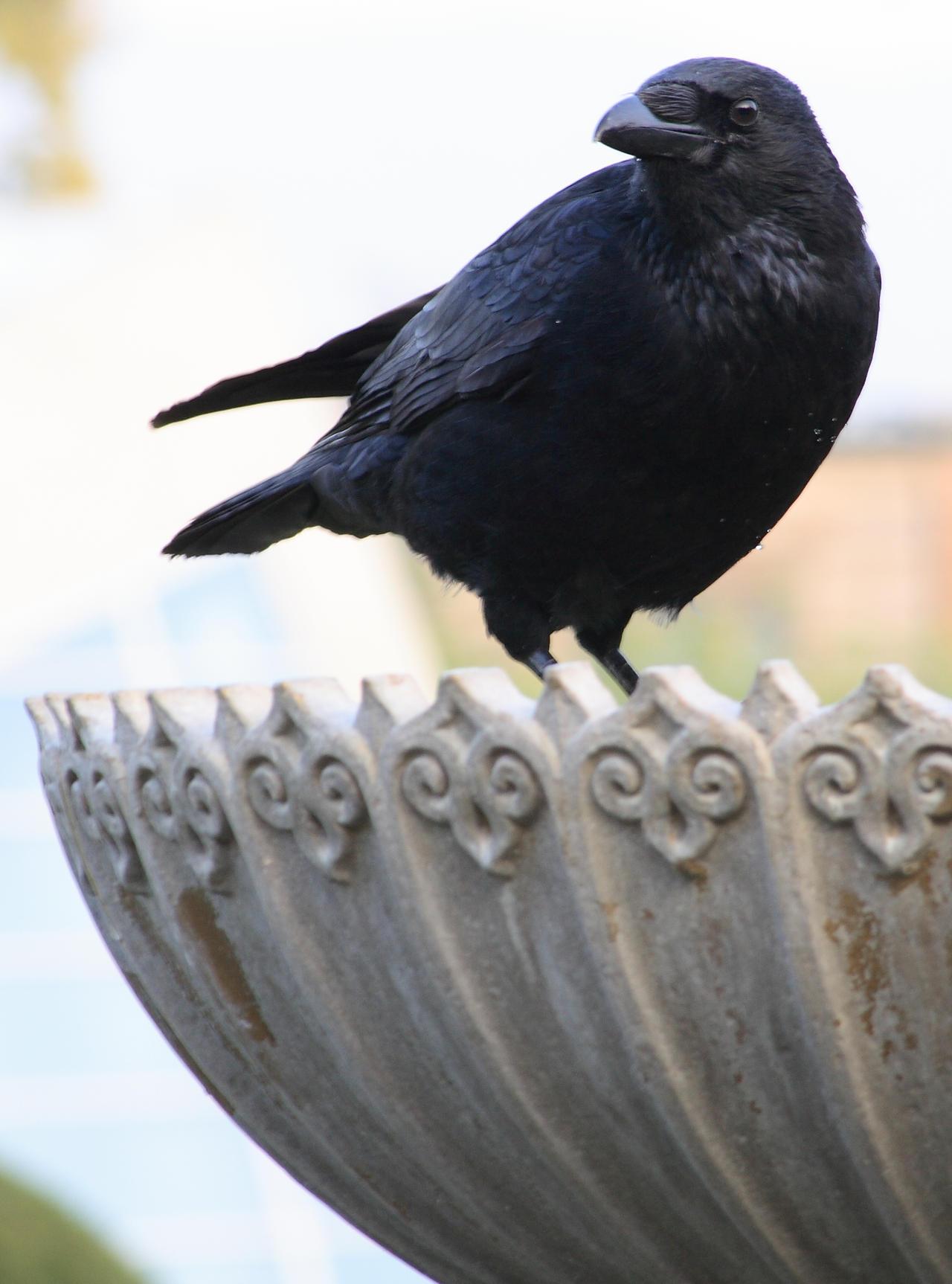 Crow No. 4