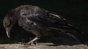 Crow No. 7