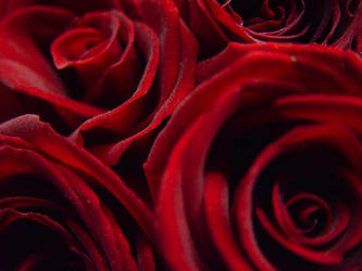Roses by klung1