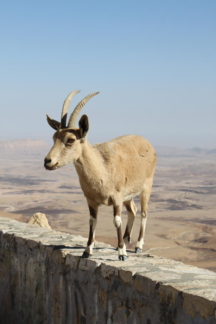 mountain goat 12 by mesash