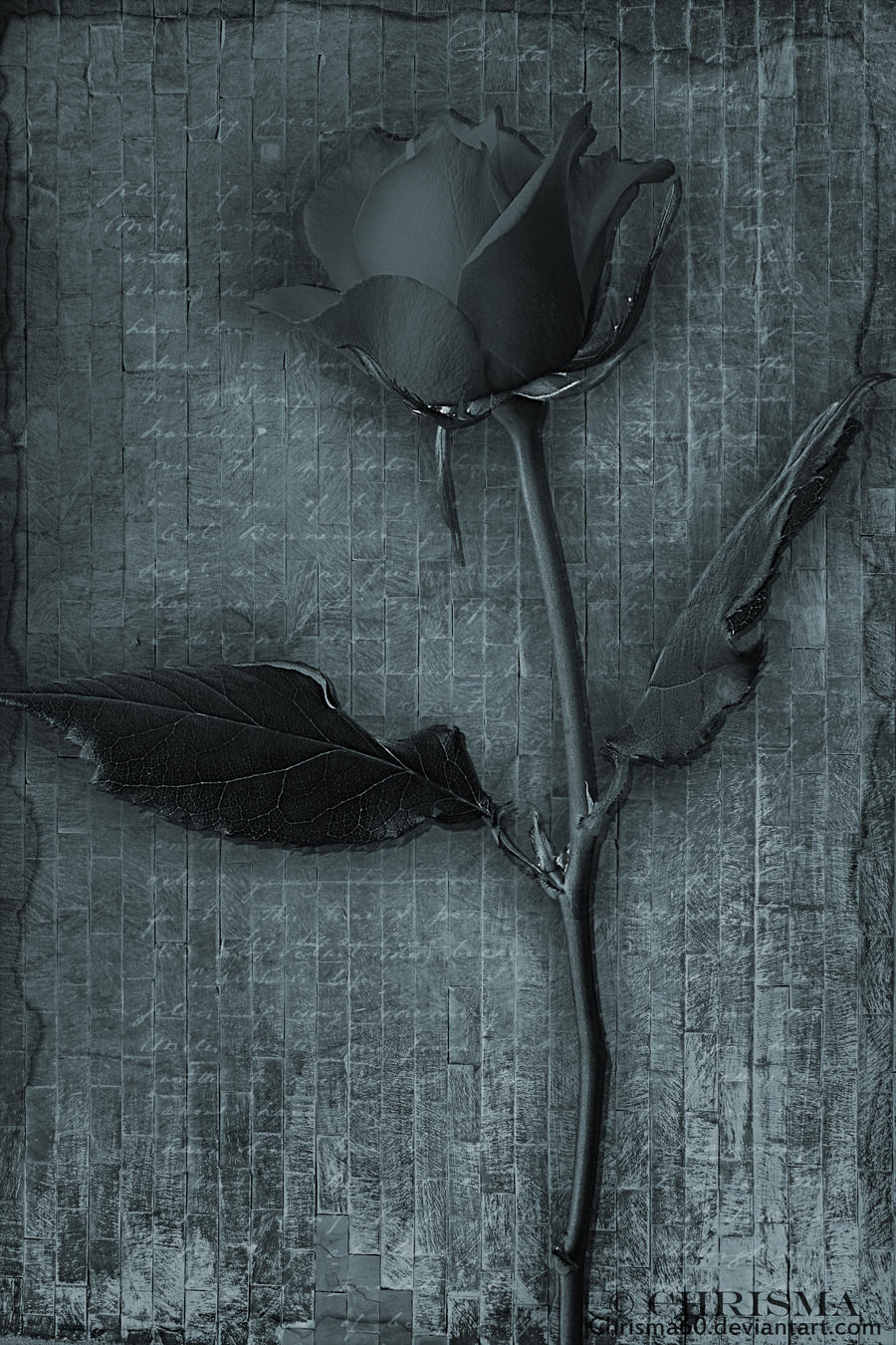Black_Rose2 by Chrisma60