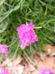 Little Chive Flower III by rainrivermusic