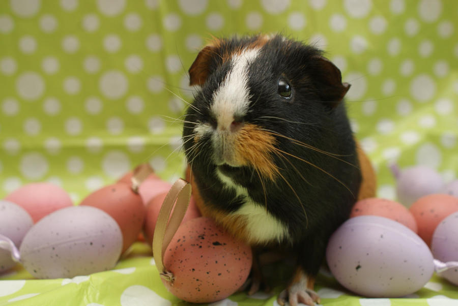 Easter Guinea pig III by SkeletonHorror