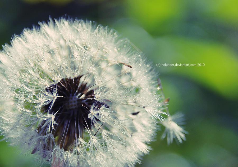 Dandelion by Holunder