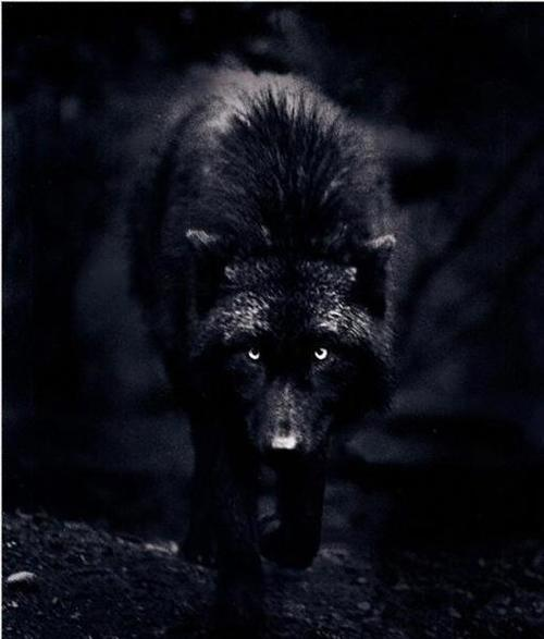 wolf in black and - photo #25