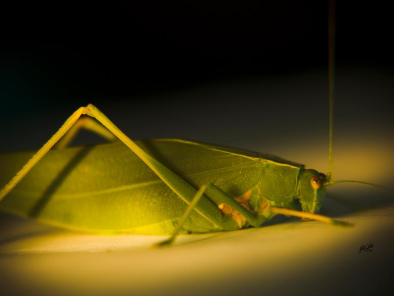 leaf insect shot 2