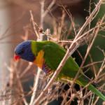 rainbow lorikeet 3 by jakwak