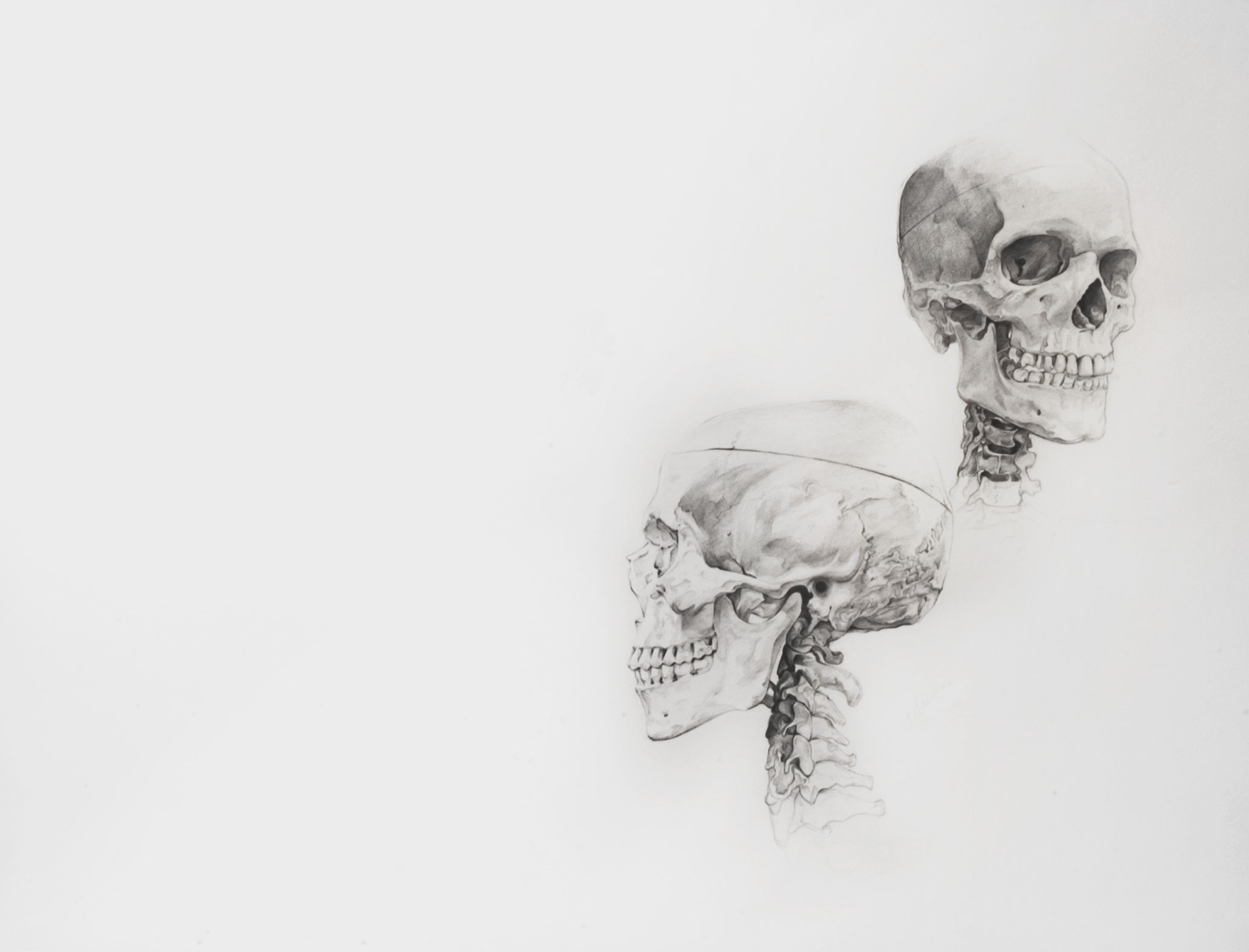 Badger Skull Replica - acornnaturalists.com